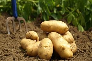 Patates üretimi ve fiyatı gayet normal