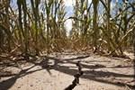 Güneydoğu'da yaşanan kuraklık mahsülleri etkiledi