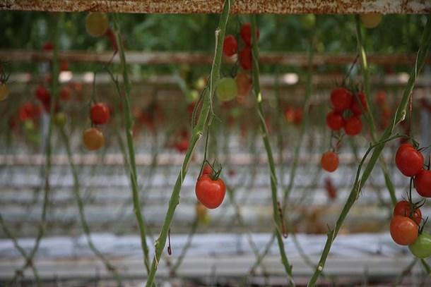 Organik tarımda hedef büyüdü