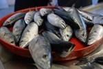 Balık fiyatları yarı yarıya düşecek